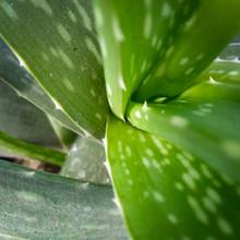 Aloe Vera Green Leaves With Wa...