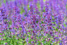 Close-up Catnip Flowers (Nepeta Cataria) Field In Summer Sunny Day With Soft Focus Blur Background