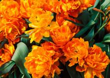 Bunch Of Tulip Flowers Close U...