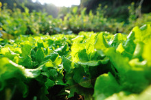 Green Lettuce In Growth At Veg...