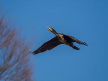 カワウ Great Cormorant 4