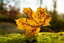 Gold And Brown Maple Leaf Sitt...
