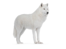 Polar Wolf Isolated On A White...