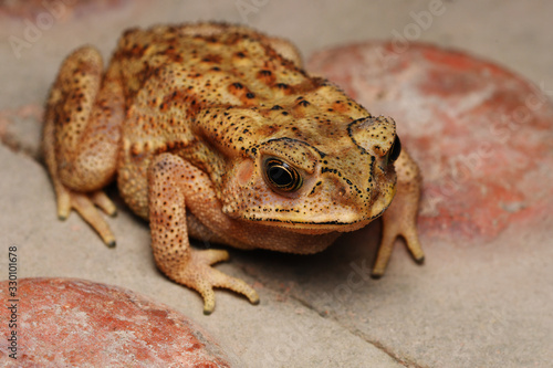 Photo Top angle of Golden eyes of Duttaphrynus melanostrictus, Indian common toad, Dis