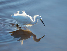 Backlit Snowy Egret Reflected ...