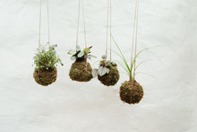 Hanging Kokedama Plants Japane...
