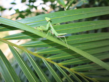 Mantis Perched On A Leaf, Look...