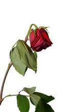 Withered Rose On The White Background