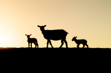 Dike Sheep Family: Mother With Lambs Silhouette At Sunset