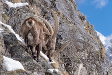 Two Ibexes On The Rock (Capra ...
