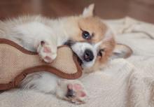 Cute Little Corgi Dog Puppy Is...