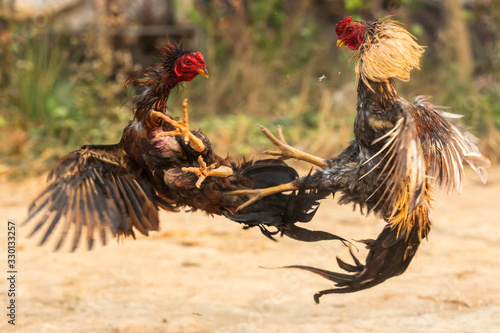 Foto Myanmar cock fighting fiercely, trained rooster for gamecock
