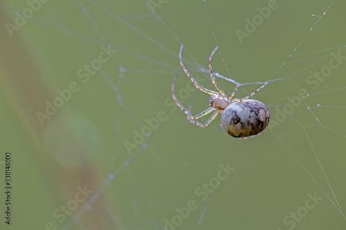 Metellina spider belonging to the family Tetragnathidae. Canvas Print
