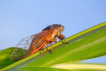 Closeup Huge Cicada Sit On A G...