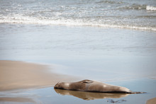An Elephant Seal Laying On The...