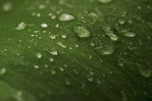 Macro Photo: Large Drops Of Pu...