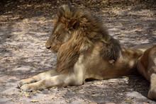 Sleeping Lion (Senegal, Park)