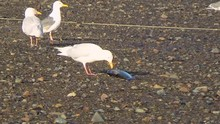 Seagull Eating A Dead Fish