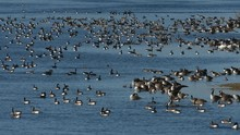 Large Flock Of Canada Geese Re...