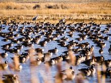 Sandhill Crane Migration At Th...