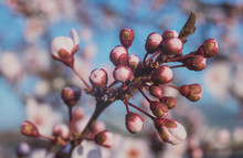 Spring Flowering Of Peach , Ap...