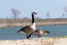 Two Canada Geese On Lake Shore