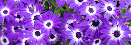 Floral background of blue Pericallis hybrida or cineraria, florist's cineraria or common ragwort flowering plant from the genus Senecio in spring Wallpaper Mural