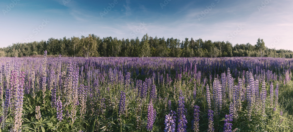 Landscape with meadow of lupine flowers