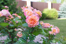 Two Tone Pink And Orange Bloom...