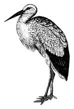 Stork, Vintage Illustration.
