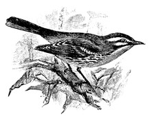 Prairie Warbler, Vintage Illustration.