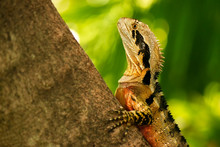 Eastern Water Dragon Also Know...