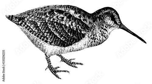 Photo Woodcock, vintage illustration.