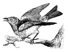 Bluebird, Vintage Illustration.