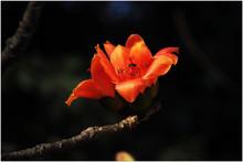 Bombax Flower Blosom Every Spring