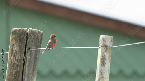 Photo Churrinche posado en un alambrado
