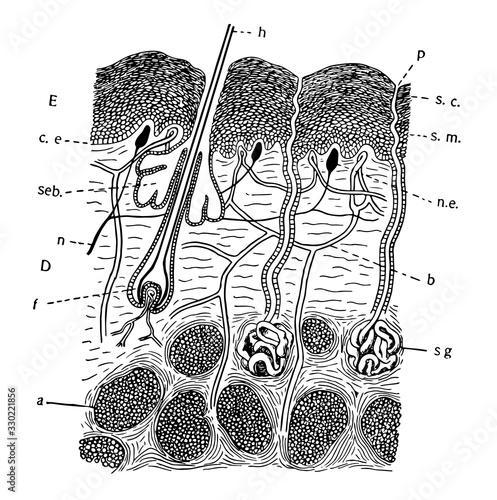 Mammal Skin, vintage illustration Canvas Print