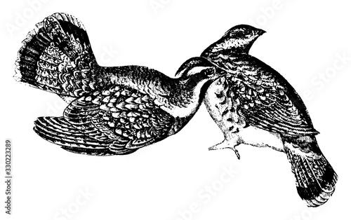 Fotografie, Tablou Ruffed Grouse, vintage illustration.