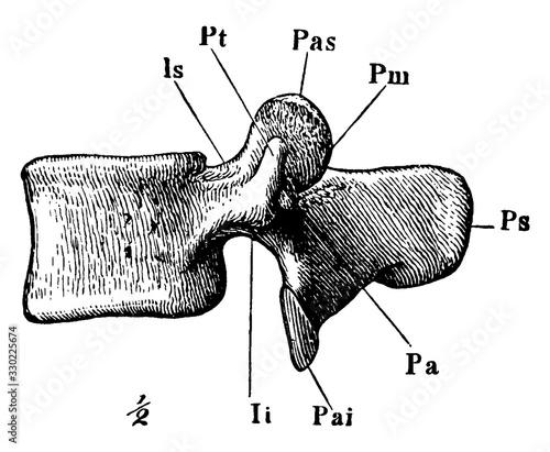 Fotomural A Lumbar Vertebra, vintage illustration.