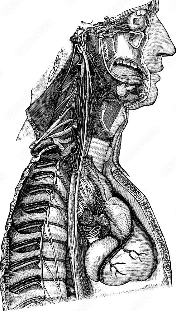 Fototapeta Sympathetic nerve, vintage illustration.