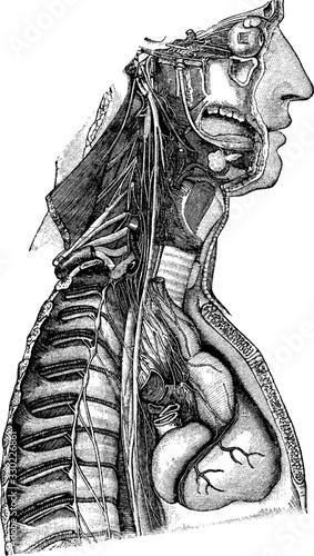 Obraz Sympathetic nerve, vintage illustration. - fototapety do salonu