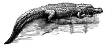 Crocodile/Crocodylinae, Vintage Illustration.