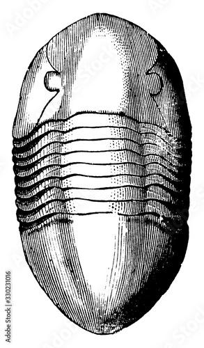 Photo Orthoceras Articulate, vintage illustration