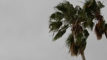 Palm Trees Blowing In Windy Hu...
