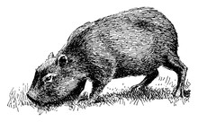 Capybara/Hydrochoerus Hydrocha...