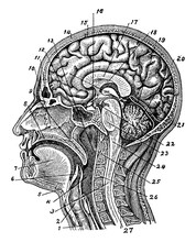 Internal Structure Of Human He...