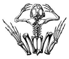 Frog Skeleton, Vintage Illustration