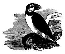 Common Puffin/Fratercula, Vintage Illustration.