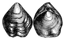 Brachiopod/Terebratula Biplica...
