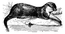 Otter, Vintage Illustration
